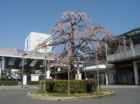 山科駅前再開発に伴う植栽